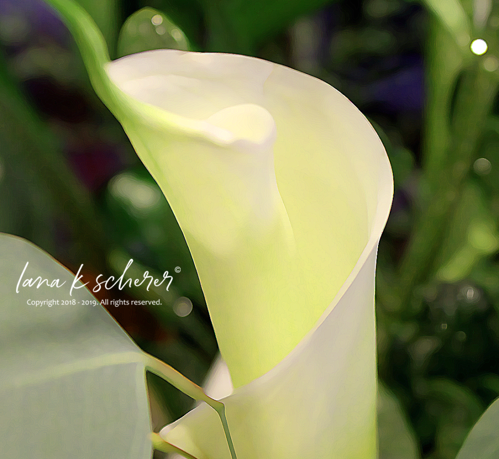 Yellow green calla lily canvas art for sale