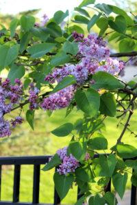 Spring Lilacs Midlife Snowbird Blog